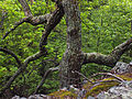 Quercus montana Mount Logan.jpg