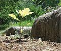 Quercus robur-Pisa-2010-05-21.JPG