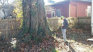 Quercus rubra - The Shera-Blair Red Oak.