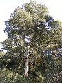 Quercus suber3.JPG