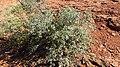 Quercus turbinella.jpg