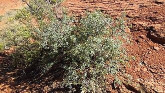 Quercus turbinella - Image: Quercus turbinella