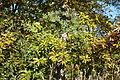 Quercus variabilis - Quarryhill Botanical Garden - DSC03256.JPG