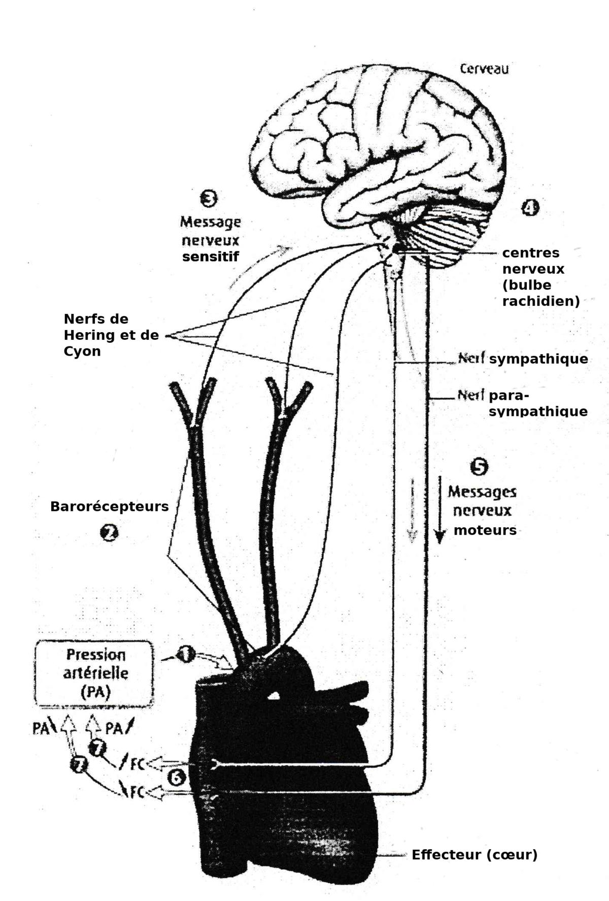 Pression artérielle, une grandeur régulée/Le..