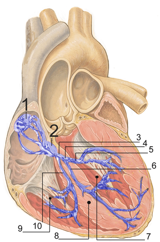 Electrical conduction system of the heart - Heart; conduction system. 1. SA node. 2. AV node. 3. Bundle of His. 8. Septum