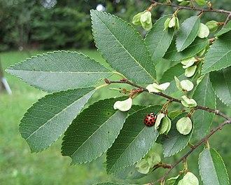 Ulmus parvifolia - Image: RN Ulmus parvifolia leaves and seeds