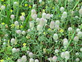 Rabbit-foot clover (Trifolium arvense) with Hop clover (Trifolium agravium).JPG