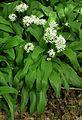 Ramsen (Allium ursinum).JPG