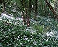 Ramsons woodland 700.jpg