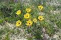 Ranunculus asiaticus kz19.jpg