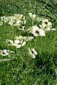 Ranunculus asiaticus kz8.jpg