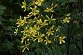 Ranunculus cortusifolius 01.jpg