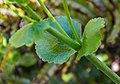 Ranunculus lyallii in Arthur's Pass NP 03.jpg
