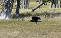 Raven flying low (dce21063-abe4-477e-a579-31d19e0d7031).jpg