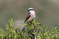 Red-backed Shrike (Lanius collurio) (8079447659).jpg