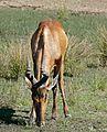 Red Hartebeest (Alcelaphus buselaphus) drinking ... (31756903163).jpg