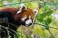 Red Panda (37661696055).jpg