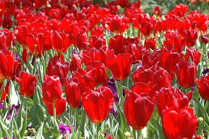 پرونده:Red Tulips.jpg
