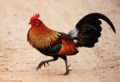 Red jungle fowl.png