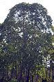 Reflorestamento eucalipto Espírito Santo 2 (Fábio Pozzebom)24mar2007.jpg
