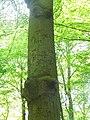 Reichsadler am Baum im Vieburger Gehölz Kiel (3).jpg