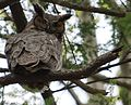 Resident Great Horned Owl Red Hill Valley.JPG