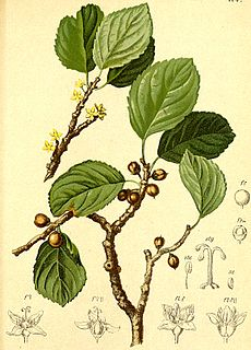 Rhamnaceae Family of flowering plants