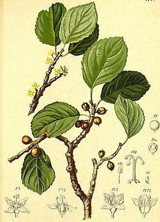 Rhamnaceae - Rhamnus pumila Turra
