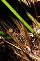 Rhapidophyllum hystrix USDA3.jpg