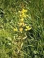 Rhinanthus minor01.jpg