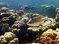 Rhinecanthus assasi - Rotmeer-Picassodrueckerfisch 0532.jpg
