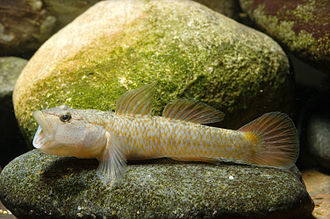 Demersal fish - Rhinogobius flumineus swim on the bed of rivers
