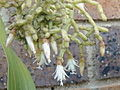Rhipsalis cereuscula01a.jpg