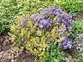 Rhododendron polycladum - University of Copenhagen Botanical Garden - DSC07554.JPG