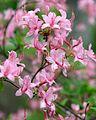 Rhododendron prinophyllum (Roseshell Azalea) (27254491900).jpg