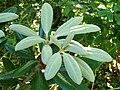 Rhododendron yakushimanum.JPG