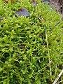 Rhytidiadelphus squarrosus 108880511.jpg