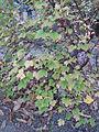 Ribes fasciculatum3.jpg