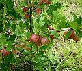 Ribes uva-crispa5 ies.jpg