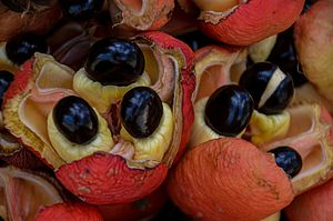 Ripe ackee fruit in Jamaica. The white flesh is eaten cooked for breakfast, with salt fish or the like. (33317955982).jpg