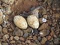 River tern-Nest 08 - Koyna 042011.JPG