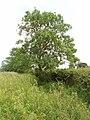 Roadside tree near Hornage Farm, Long Crendon - geograph.org.uk - 185224.jpg