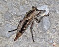 Robber fly (Castle Rock chalk badlands, south of Quinter, Kansas, USA) 3 (19901898105).jpg