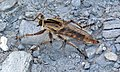 Robber fly (Castle Rock chalk badlands, south of Quinter, Kansas, USA) 5 (19875671056).jpg
