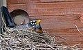 Robin dutifully incubating her eggs (27077316884).jpg