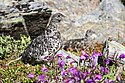 Rock Ptarmigan and Chicks (2) - Lagopus muta (21459416606).jpg