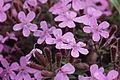 Rock Soapwort - Saponaria ocymoides (17261622696).jpg