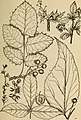 Rocky Mountain flowers - an illustrated guide for plant-lovers and plant-users (1920) (14598228570).jpg
