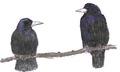 Roek Corvus frugilegus Jos Zwarts 2.tif
