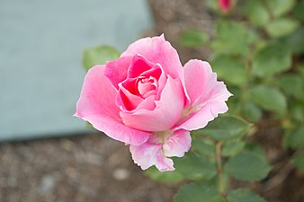 Rosa 'Carefree Wonder' IMG 0174.jpg